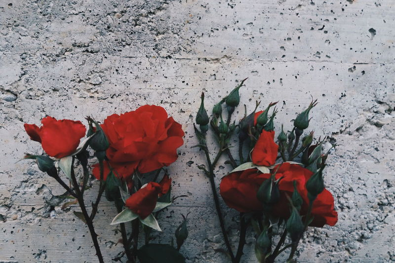 Red Nature No People Plant Flower Leaf Beauty In Nature Outdoors Close-up Poppy Fragility Winter Day Roses Flowers