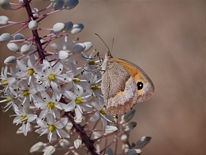 Close-up of butterfly pollinating on cherry blossom