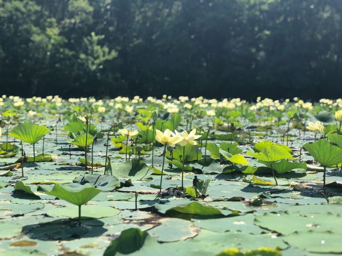 Water Lilies Leaf Water Water Lily Plant Part Plant Lake Growth Beauty In Nature Flower Floating Flowering Plant Nature Floating On Water No People Green Color Outdoors