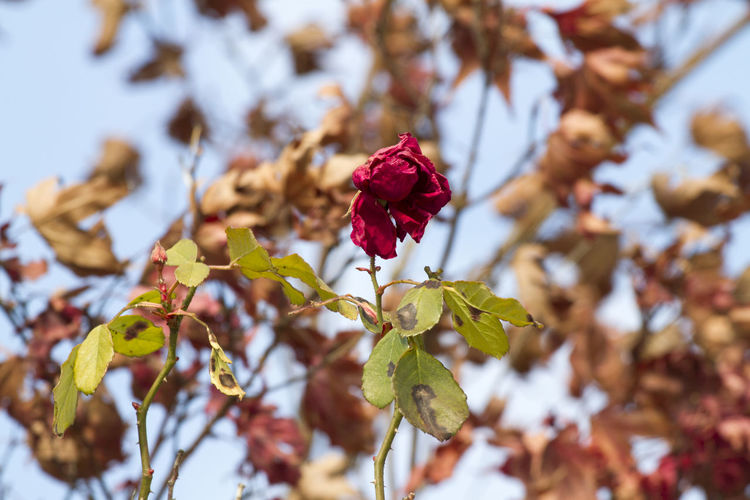 Wither Autumn🍁🍁🍁 Wilt Withered Flower Season  Shrivel EyeEm Selects Flower Nature Beauty In Nature Red Insect Fragility Petal Outdoors Day Plant No People Close-up Growth Leaf Flower Head Freshness Animal Themes Branch Tree Sky