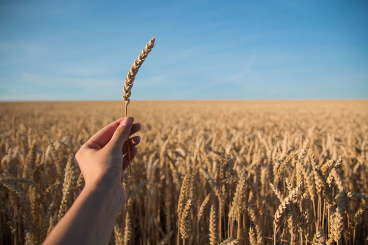 Close-up of hand holding wheat field against sky