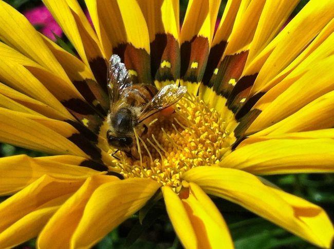 Planten Un Blomen Bee Bee 🐝 Bees And Flowers Yellow Flower Sunshine Flower Head Close Up Nature Jopesfotos - Nature Jopesfotos - Bestefotos