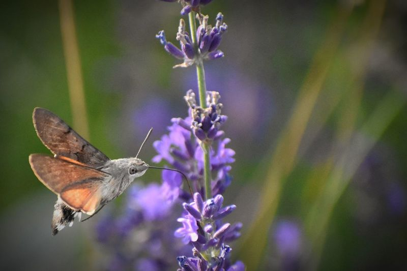 The wonderful hummingbird hawk moth. Nature Wings Nature Photography Schmetterling Nikon Nikonphotography Pillango Macro EyeEm Selects EyeEmNewHere Garden Macro Photography Humming Bird Moth Moth Hawk Moth Flower Perching Spread Wings Butterfly - Insect Insect Purple Flower Head Close-up Animal Themes Plant Lavender