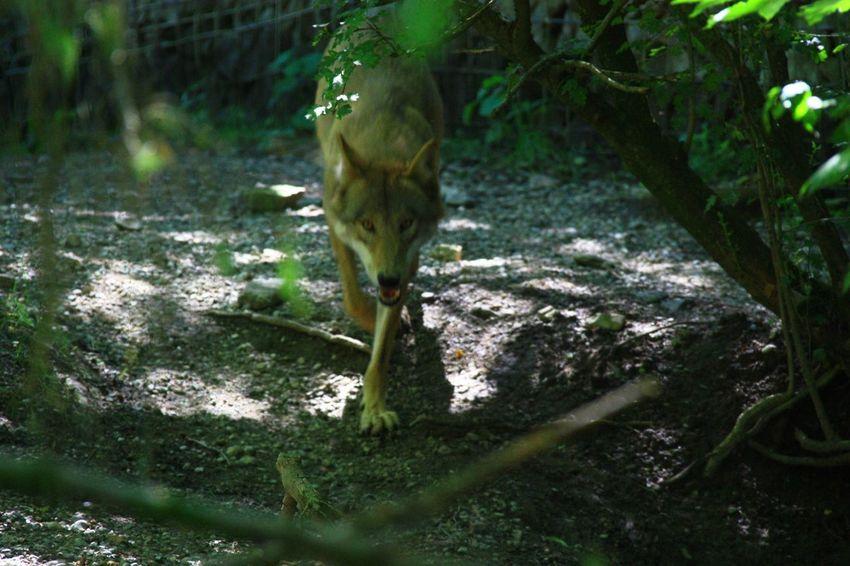 Animals Wilde Life Zoo Wolf
