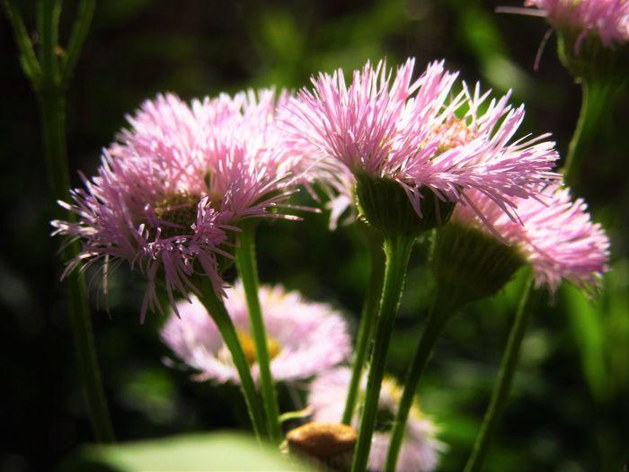 Erigeron Philadelphicus Philadelphia Fleabane Close-up Flower Flower Head Growth Nature No People Outdoors Petal Pink Color Plant