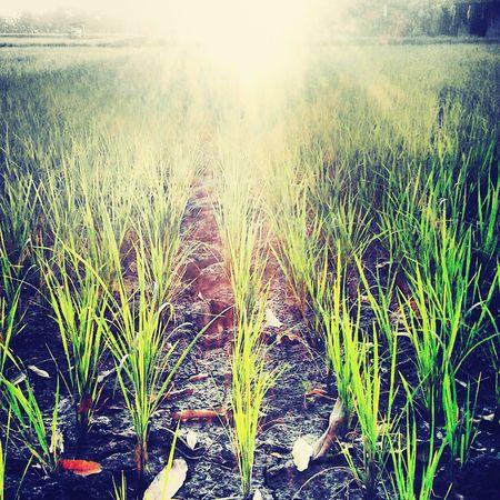 Precision Sunrise Ilovesunrisesandsunsets Orizasativa Green Green Green!  Beautifulmorning#ricefield