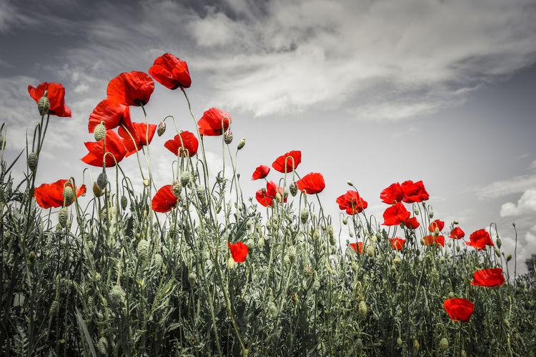 Red Plant Flower Beauty In Nature Flowering Plant Red Sky Nature Inflorescence Poppy Growth Freshness Fragility Flower Head Vulnerability  Petal Springtime Land No People Cloud - Sky Field