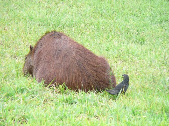 Kabibara Bird Animal Beautiful Nature Culture Nature Day Feelings Food Field Animal Themes Grass Grass Area