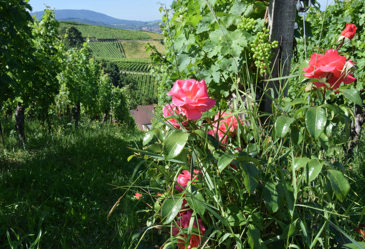 Roses in a vineyard Beauty In Nature Blooming Blossom Botany Flower Green Color Growing Growth In Bloom Landscape Nature Outdoors Plant Tranquil Scene Vine Vineyard