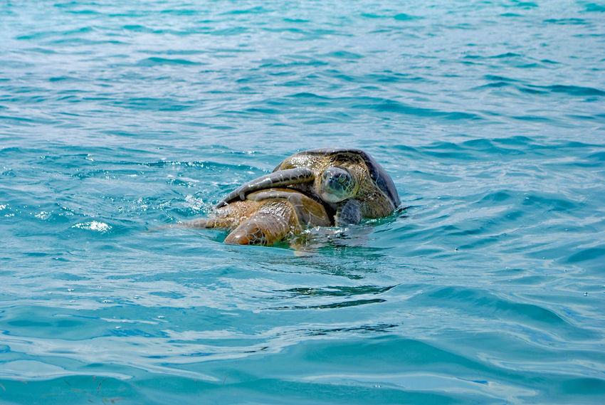 Mexico Sea Turtle Animal Animal Themes Animal Wildlife Animals In The Wild Beauty In Nature Day Marine Nature One Animal Outdoors Reptile Sea Sea Life Sian Ka'an Swimming Tulum Turtle Underwater Water Wildlife