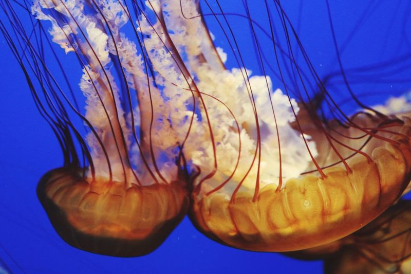 Blue Close-up Underwater Zoology Water Vibrant Color Floating In Water No People Majestic Blue Background Jellyfish Focus On Foreground Monterey Bay Aquarium Orange Color Taking Photos