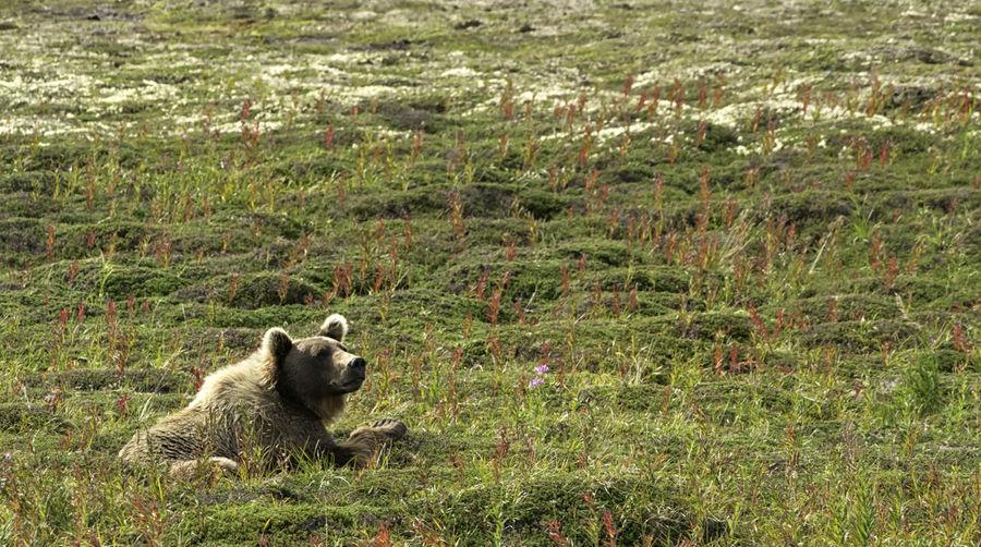 Bear relaxing on grassy field