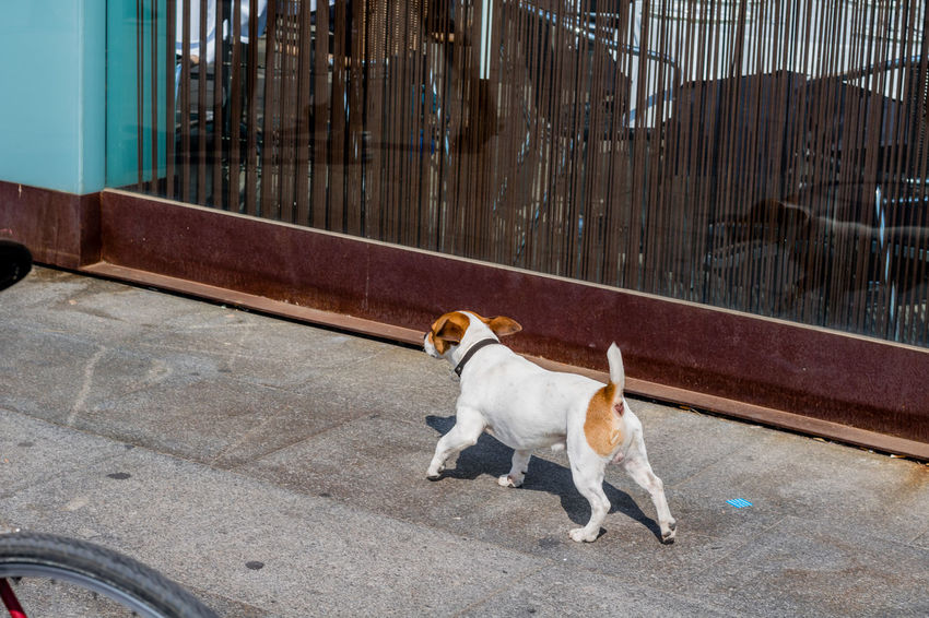 Pets Domestic Animals Dog Animal Themes Mammal High Angle View One Animal Outdoors No People Day Portrait Of A City Taking Photos Barcelona Street Photography SPAIN Barça Perros De Barcelona Dogs Of Barcelona Dogs Animals Pets Of Eyeem Pet Portraits