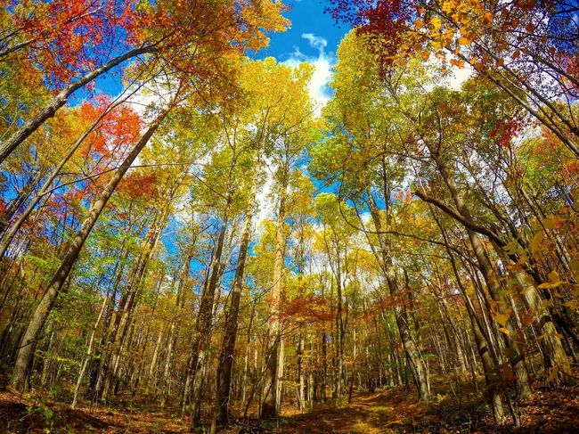 Fall colors Colors Wide Angle Fall Laurel Forest Autumn Tree Forest Nature Leaf Low Angle View WoodLand Beauty In Nature Multi Colored Change Outdoors Landscape Sunlight Branch Growth Tranquility Scenics Day Tranquil Scene Tree Trunk