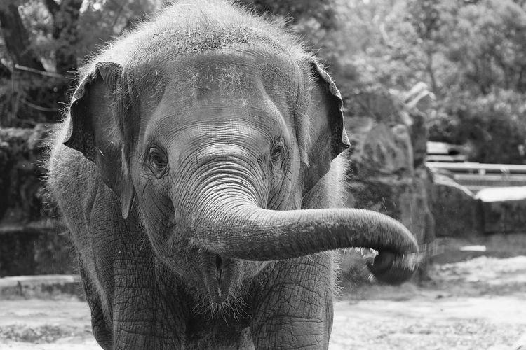 Close-up portrait of elephant
