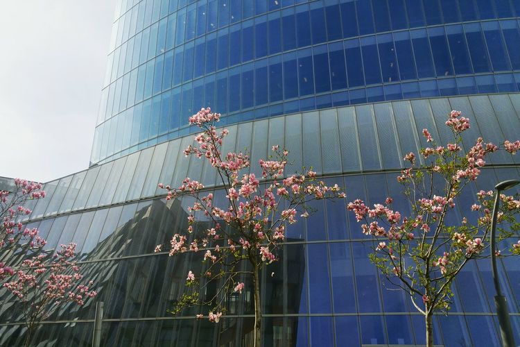 Blossoms  Blossoms  Trees Branch Flowres Flowers Blossom Tree Pink Flower 🌸 Tree Building Exterior SPAIN City Bilbao Architecture Blossom Flowers Flower Millennial Pink Spring Springtime Outdoors Outdoor The Architect - 2017 EyeEm Awards
