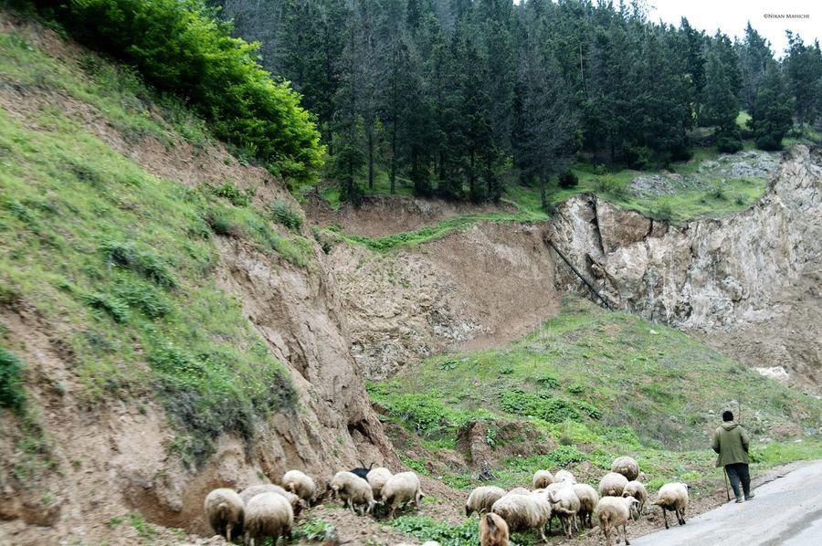 Nikanmahichi Outdoor Photography Nikon D300s Nikon Lightlive Natural Sheep Sheep🐑 Green Iran Iranian_photography