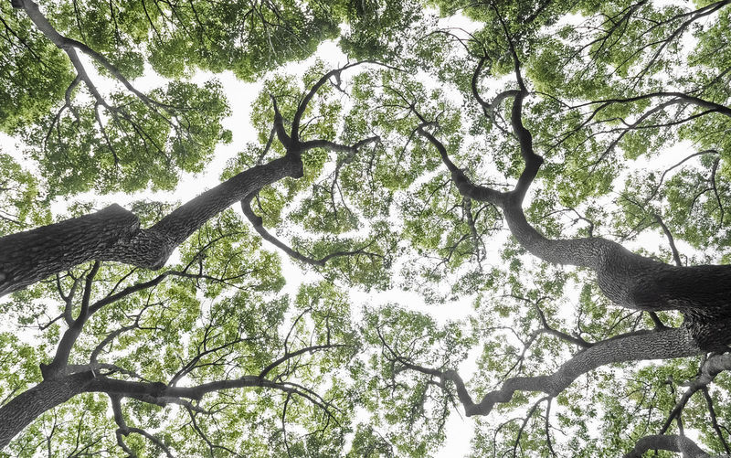 Directly below tall trees in Australia Tree Plant Low Angle View Worm's Eye View Branch Growth No People Nature Beauty In Nature Tree Trunk Tree Canopy  Outdoors Day Trunk Sunny Australia Forest Low Angle View Foliage Leaf