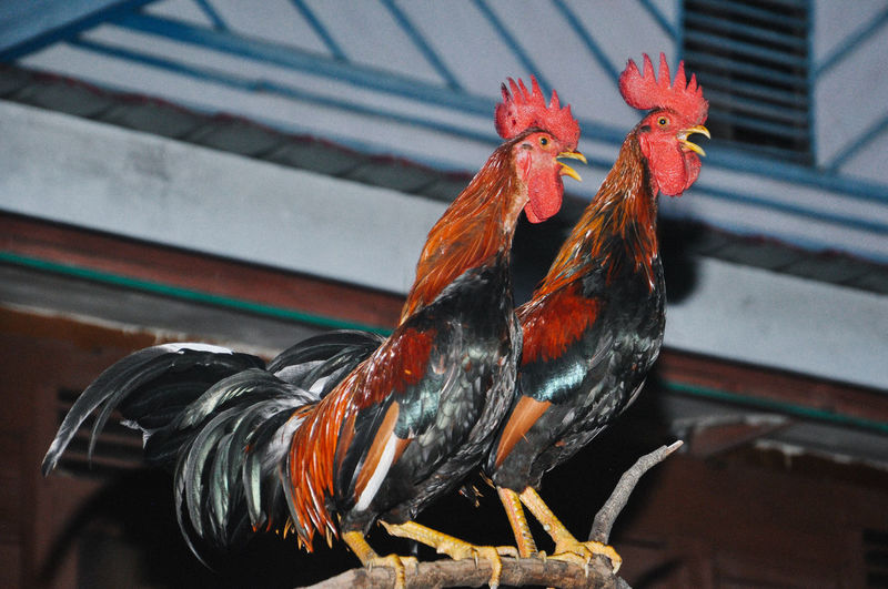 Low angle view of roosters perching on branch against wall