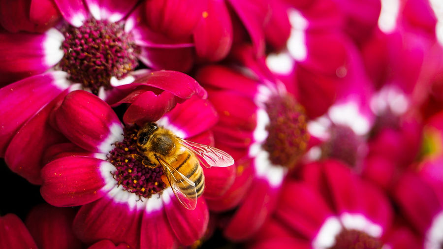 Flowers and the bee Animal Themes Animal Wildlife Animals In The Wild Beauty In Nature Bee Close-up Day Flower Flower Head Fragility Freshness Honey Bee Insect Nature No People One Animal Outdoors Petal Pollination Red