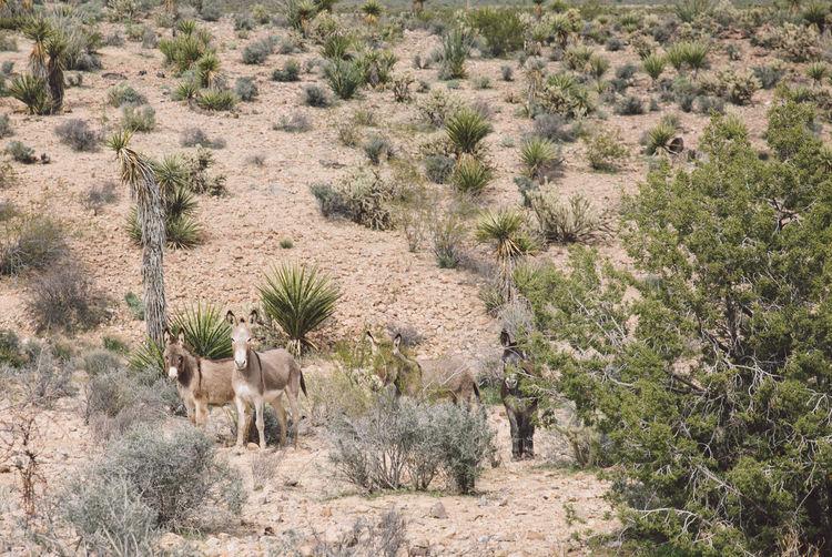 Donkeys Standing At Desert During Sunny Day