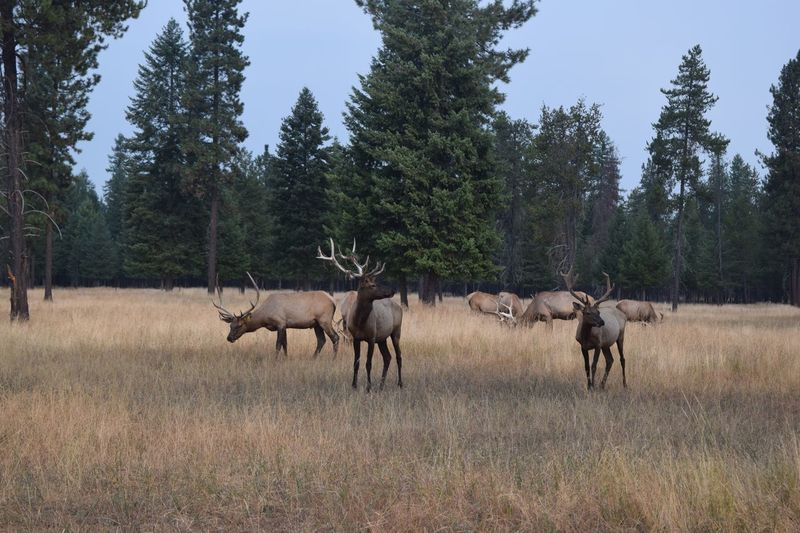 North idaho elk