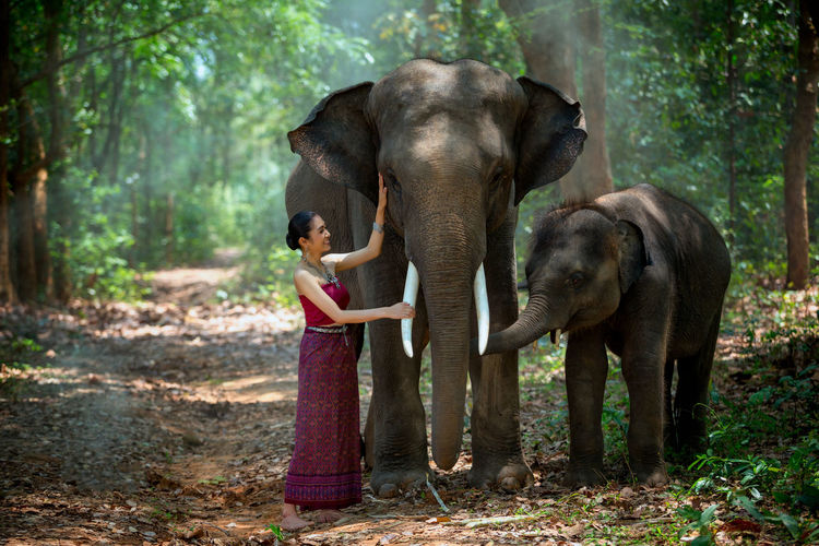 Asian woman enjoying with elephant and son at Chang Village Surin province Thailand. ASIA Thailand Animal Trunk Animal Wildlife Animals In The Wild Child Childhood Day Elephant Forest Herbivorous Indian Elephant Innocence Land Mammal Nature Offspring One Animal One Person Outdoors Plant Standing Tree WoodLand