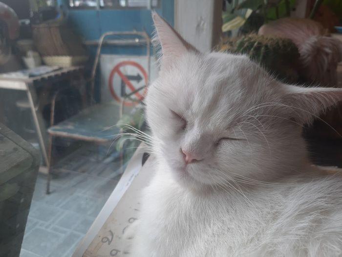 White cat! Pets