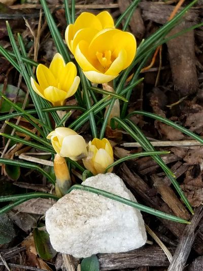 Yellow Flower Nature Freshness Growth Fragility Plant Petal Leaf Flower Head Beauty In Nature Outdoors Close-up Grass No People Day Crocus The Purist (no Edit, No Filter) February 2017 Winter Popular Beauty In Nature Eyeemphoto Popular Photos