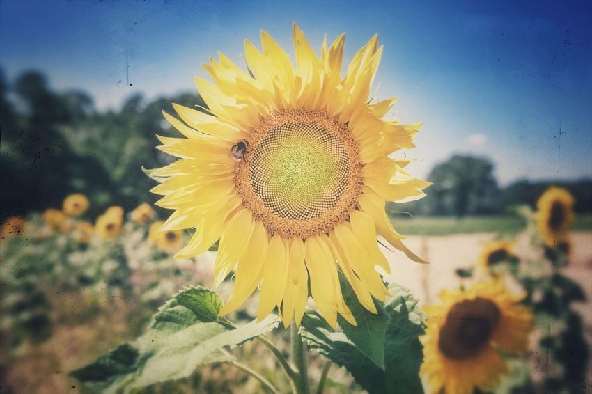 Sunflower Flower Flowering Plant Yellow Plant Flower Head Freshness Summer Road Tripping Beauty In Nature Growth Fragility Close-up Sunflower Nature No People Summer Road Tripping