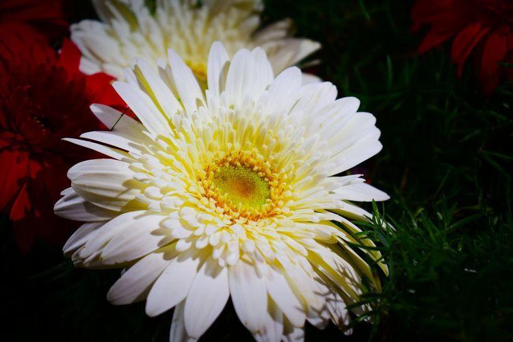 flower Flower Head Flower Petal Close-up Plant In Bloom Plant Life Botany