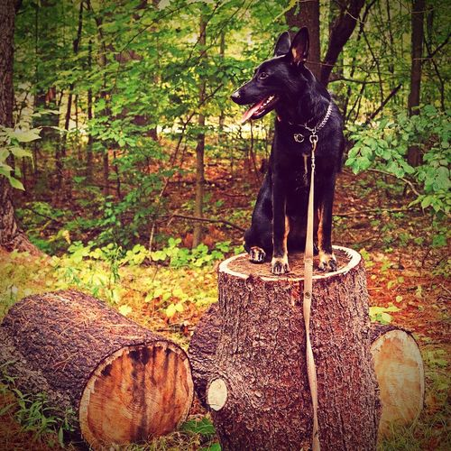 A girl's best friend Tree Trunk Forest Nature Tranquility WoodLand Growth Domestic Animals Solitude Germanshepherd Malinoislovers First Eyeem Photo