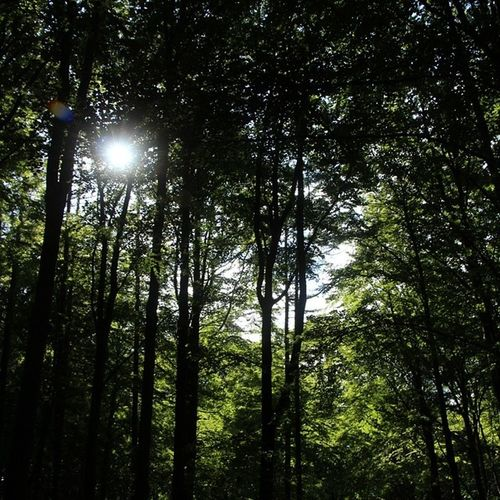 Sun Trees Vilhelmsborg skovTræer solsommer