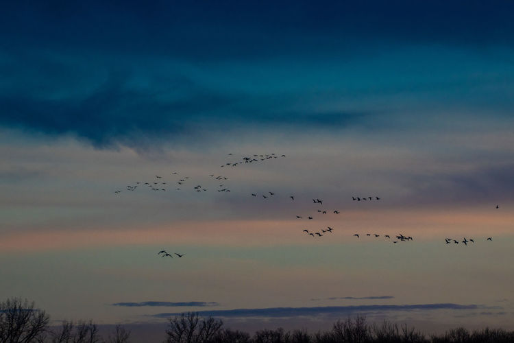 Canada Coast To Coast Geese Geese Family Canadian Geese Flying Sky Animal Themes Animals In The Wild Group Of Animals Animal Bird Vertebrate Animal Wildlife Low Angle View Flock Of Birds No People Nature Large Group Of Animals Cloud - Sky Beauty In Nature Silhouette Sunset Scenics - Nature Tranquility