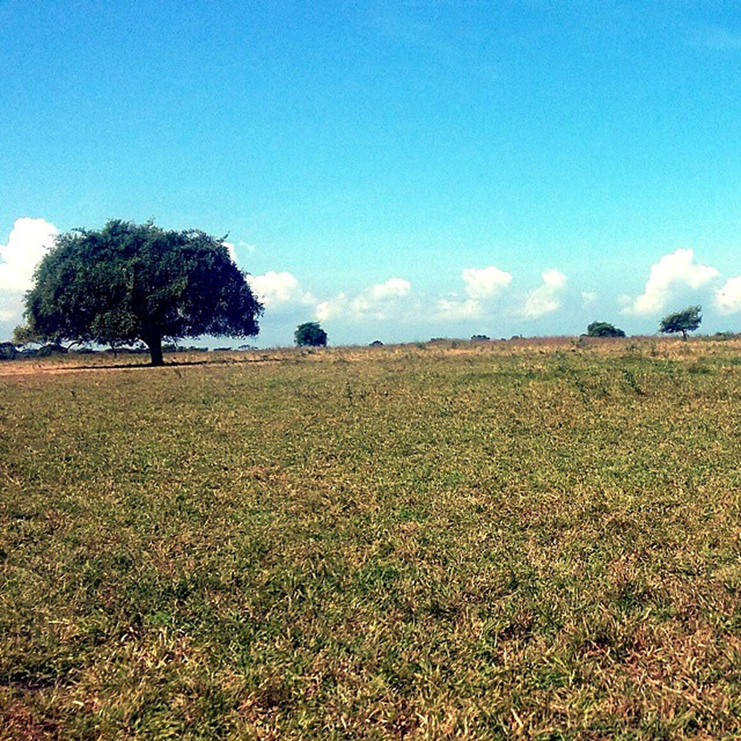 tree, landscape, field, blue, tranquil scene, tranquility, sky, scenics, beauty in nature, grass, nature, rural scene, clear sky, growth, copy space, grassy, agriculture, day, idyllic, outdoors