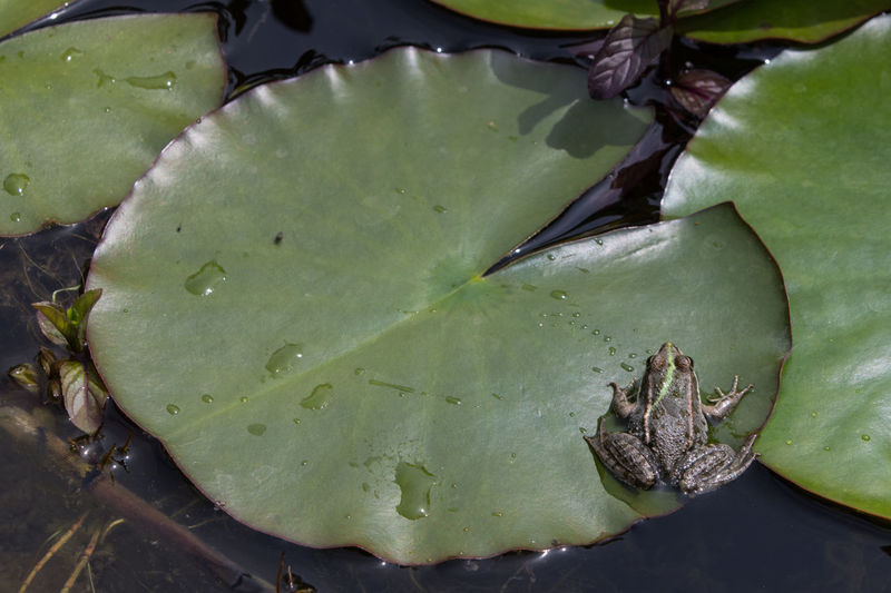 Leaf Plant Part Green Color Water Lake High Angle View Nature Beauty In Nature Growth Animal Wildlife Floating Floating On Water Animal Leaves Water Lily Frog Garden