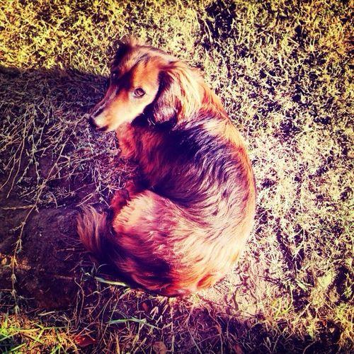 Rosie { lady daschound } Dogstagram A Dogs Life