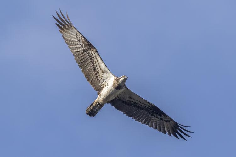 A common cuckoo