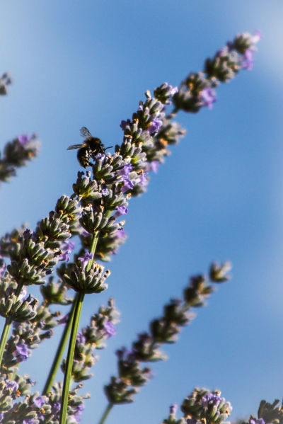 Fragility Flower Freshness Low Angle View Beauty In Nature In Bloom Flower Head Sky Blossom Bee Bees And Flowers Polinization Abejas Abeja Lavander Lavander Flowers Lavande En Fleur Lavanda EyeEm Gallery Check This Out Learn & Shoot: Leading Lines Dramatic Angles