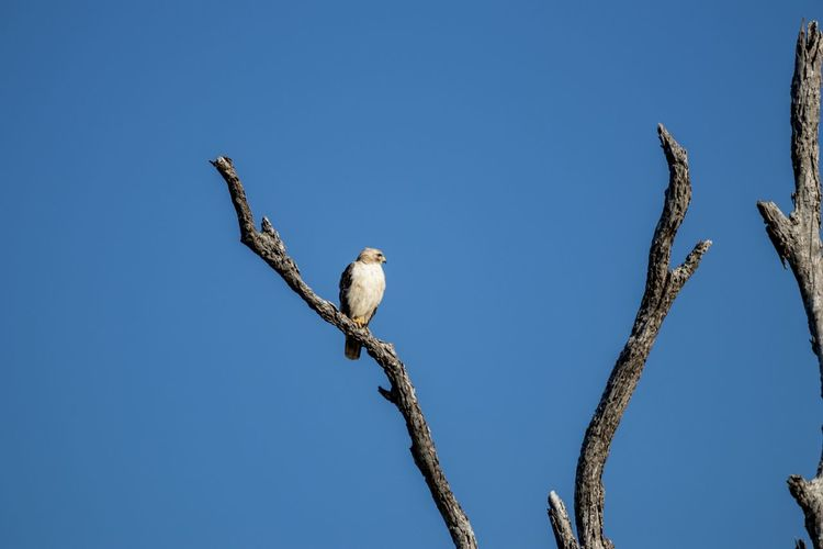 Hawk sitting on a dead tree against blue sky Animal Themes Animal One Animal Animal Wildlife Sky Low Angle View Animals In The Wild Vertebrate Bird Clear Sky Branch Copy Space Perching No People Tree Nature Day Plant Blue Outdoors Hawk Bird Of Prey Predator