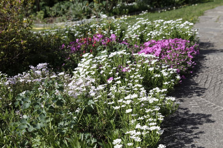 Purple flowering plants in garden