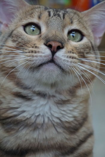 staring at something Adorable Adorable Cat  Animal Themes Cat Cat Lovers Close-up Day Domestic Animals Domestic Cat Eyes Feline Gesturing Indoors  Lively Looking At Camera Lovely Mammal Meow No People Nose One Animal Paw Pets Portrait Whisker