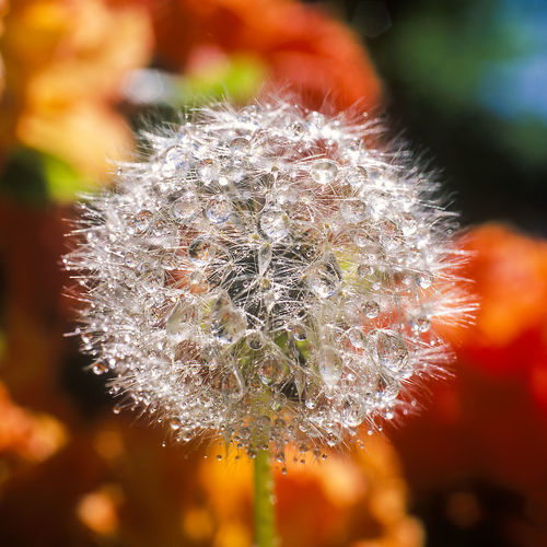 Morningdew on Dandelion Beauty In Nature Close-up Dandelion Flower Focus On Foreground Morning Dew Nature No People Plant