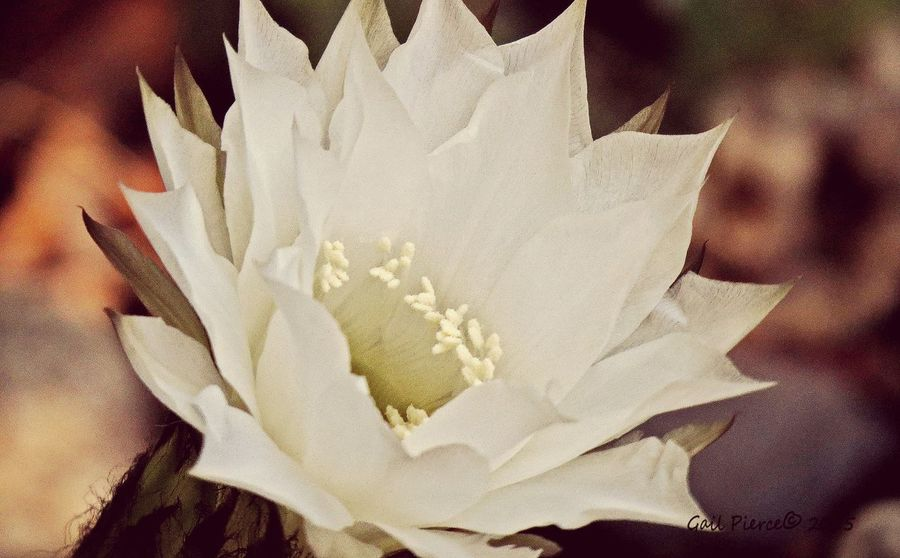 Sea Urchin Cactus. Backyard Vignette, Cactus Digital Expression, Flowers, Nature And Beauty Garden Blooms