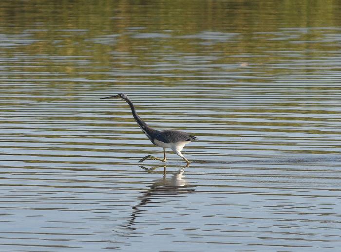 Bird on rippled water