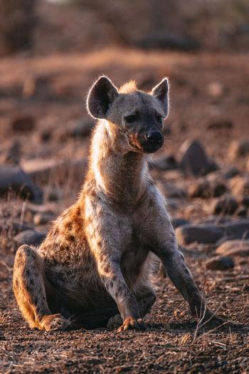Spotted hyena sitting
