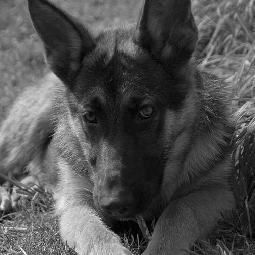 Horus Portrait Animal Themes Looking At Camera Pets No People Outdoors Domestic Animals Close-up Day Dogs Of EyeEm Bnw_captures Bnw_worldwide Duitse Herder Young Animal