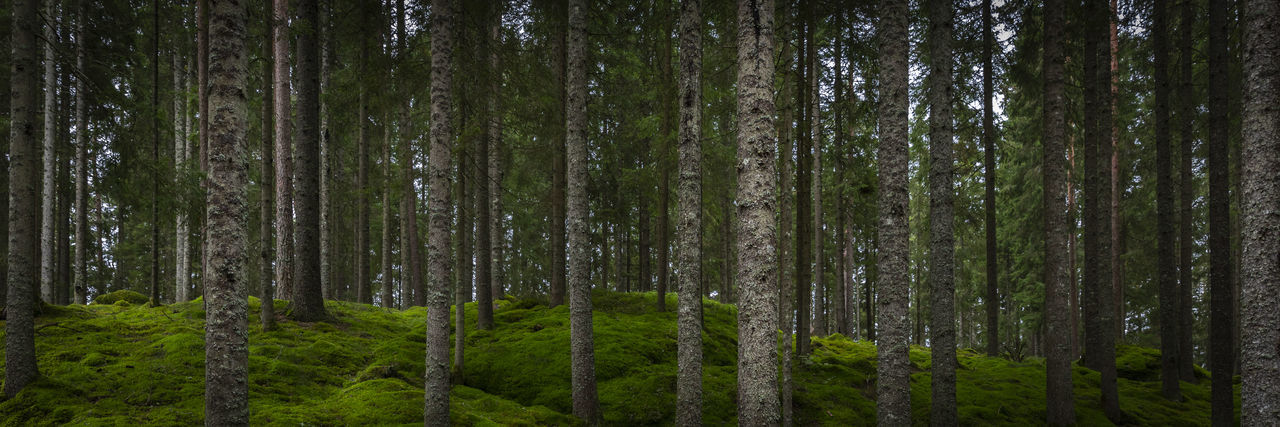 Moss Patrik Wennerlund Beauty In Nature Day Environment Forest Green Color Growth Land Nature No People Non-urban Scene Outdoors Pine Tree Pine Woodland Plant Scenics - Nature Tranquil Scene Tranquility Tree Tree Trunk Trunk WoodLand Www.pwmfoto.com