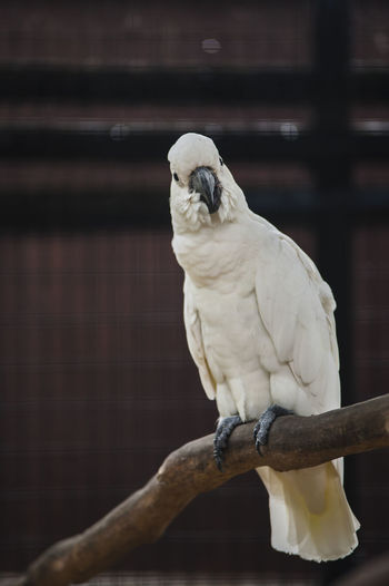 Close-up of cockatoo perching on wood in cage at zoo