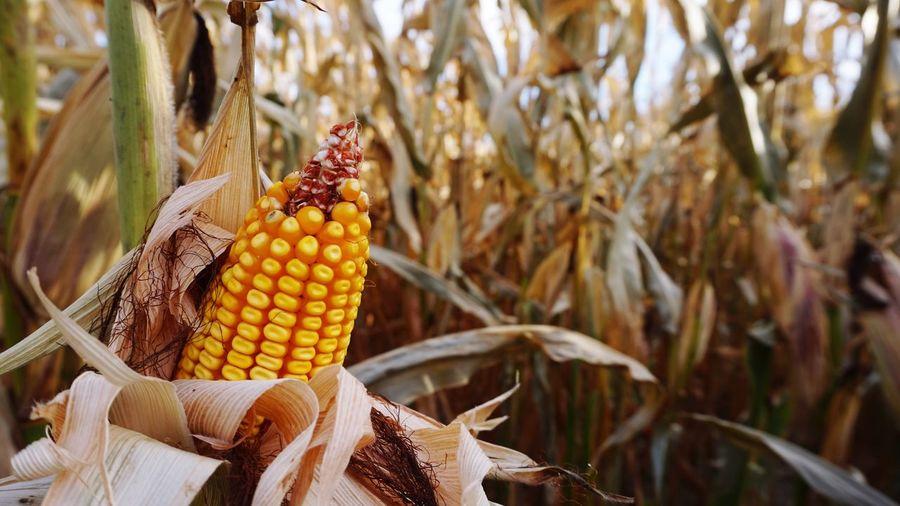 Corn Corn Corn